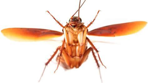 scarafaggi volanti scarafaggio volante quali sono le specie volano