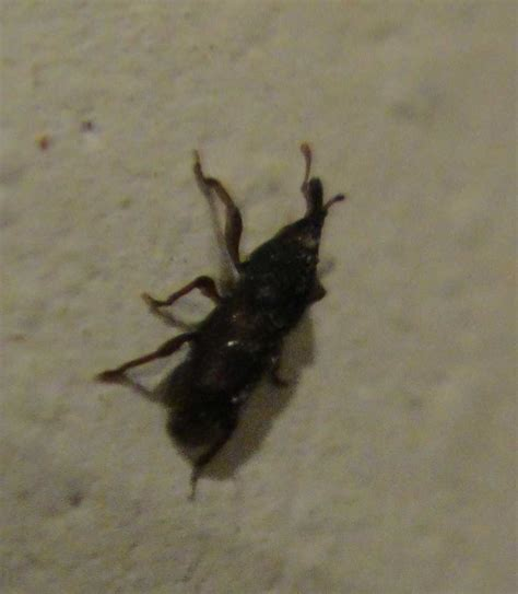 tiny black bugs in house small black flying bugs in house
