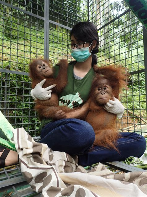 illegally smuggled infant sumatran orangutans confiscated