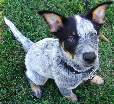 qld blue brutus australian cattle 12 weeks blue heeler
