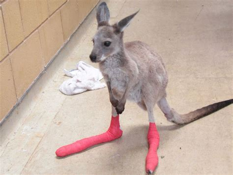 adelaide zoo cares for wildlife injured in bushfires abc