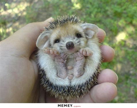 a cute baby hedgehog being held in a hand memey com
