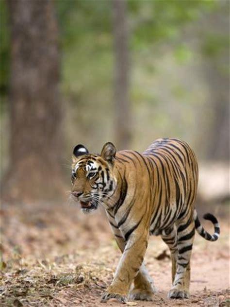 what s your name tigris indian tiger bengal tiger panthera tigris tigris