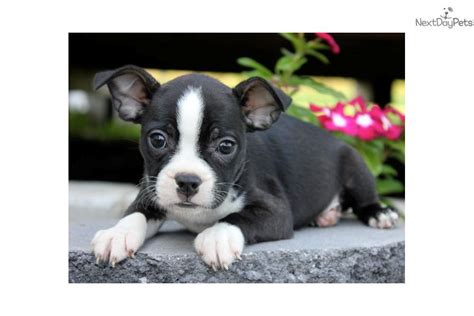 boston terrier puppies for sale near me boston terrier for sale for 550 near joplin missouri 8f8c389d 6c91
