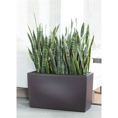 lechuza cararo lechuza cararo 75 cm cu sansevieria laurentii 3 plante 24