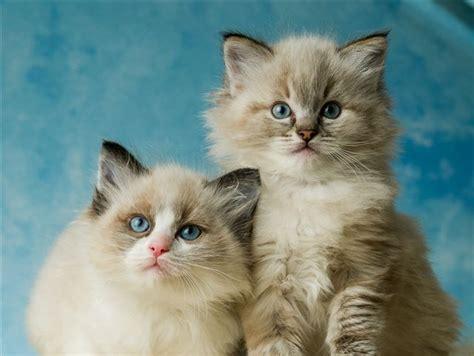 ragdoll cats new zealand ragdoll kittens gallery ragdoll cats and kittens