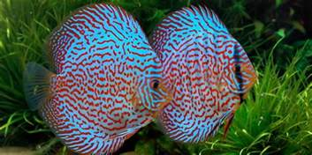colorful freshwater fish image gallery most colorful freshwater fish