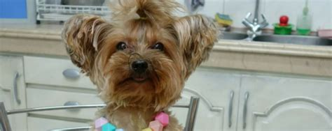 yorkie cancer nhv pet products