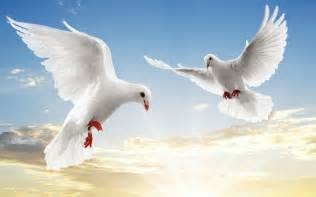 White dove 1920x1200 wallpapers dove 1920x1200 wallpapers amp pictures
