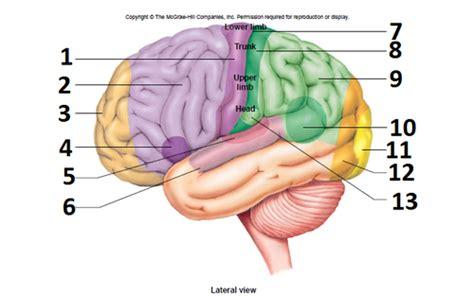 motor and sensory areas of the brain sensory and motor areas of the brain picture flashcards