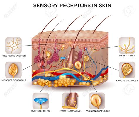 skin structure stock photos royalty free skin structure images depositphotos 174 skin anatomy images human anatomy diagram
