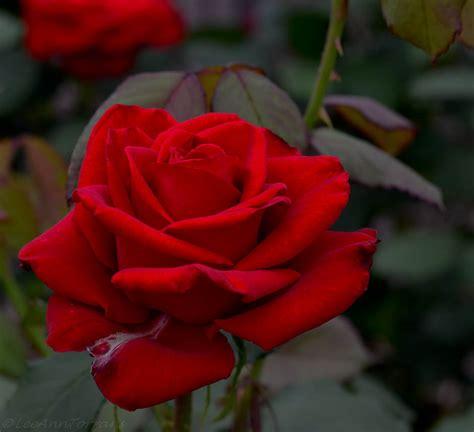 Flowering Shrubs Texas - olympiad texas hybrid tea rose lee ann torrans gardening