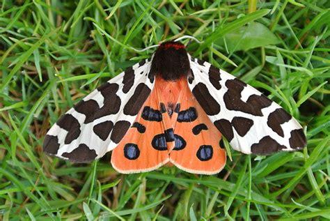 Garden Tiger Moth by File Garden Tiger Moth Jpg Wikimedia Commons