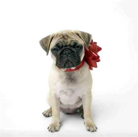 pug advert house of fraser forced to remove disgusting pug advert deadline news