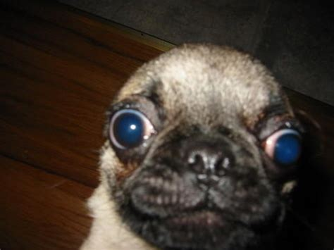 surprised pug pug slightly surprised by check out on deviantart