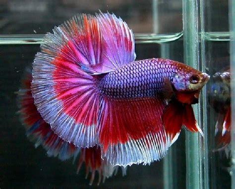 Makanan Ikan Hias Yang Baru Menetas langkah langkah budidaya ikan cupang talking gourami