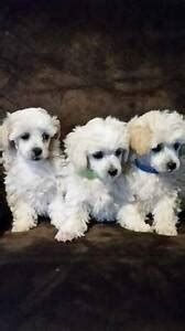 toy poodle  sydney region nsw dogs puppies
