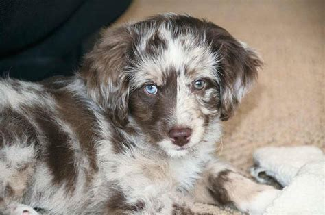mini aussiedoodle puppies information on moyen poodles breeds picture