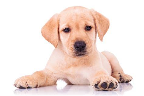 golden labrador puppies golden lab puppies the of the labrador family lovable labradors
