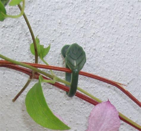 Attache Plante Grimpante by Attaches Pour Plantes Grimpantes Attaches Et Liens Pour