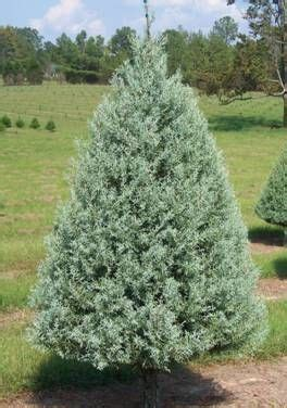 decorated blue arizona cypress tree types arizona cypress find out why to choose this tree as your family