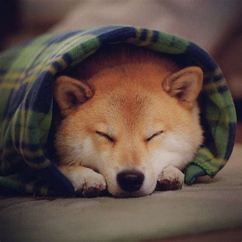 puppy burrito say quot aww quot to these 25 dogs swaddled in blankets like burritos thethings