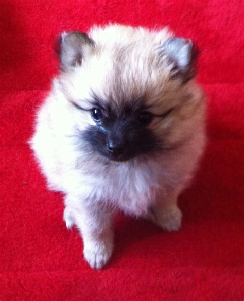 pedigree pomeranian puppies for sale dlrc pedigree pomeranian puppies for sale st helens merseyside pets4homes