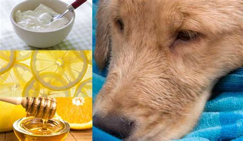 home remedies for mites on dogs home remedies for mange mites in dogs authority remedies