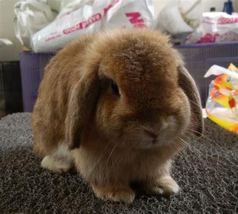 Kelinci Lop 3 jenis kelinci lop harga dan cara merawatnya