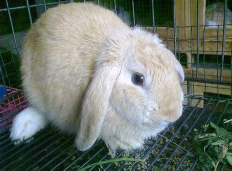 Harga Makanan Kelinci Anggora tips lengkap dan cara mudah merawat kelinci hias dengan benar