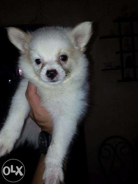 pomeranian husky price philippines pomspitz for sale or for sale philippines find new and used pomspitz