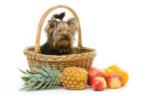 best food to feed a yorkie best food for yorkies how to feed a yorkie best food for yorkies