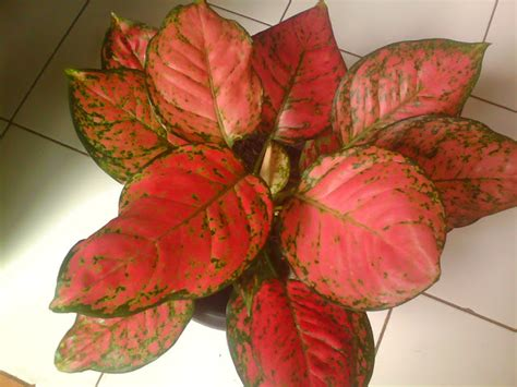 cyborg dorito asal  karakteristik tanaman hias