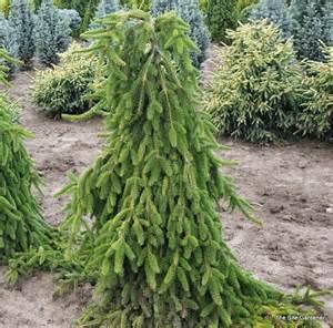 pinus möbel picea abies pendula hess landscape nursery