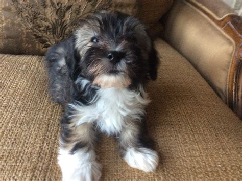 havanese puppies in minnesota havanese puppies havanese studs havanese breeders minnesota havanese chion puppies