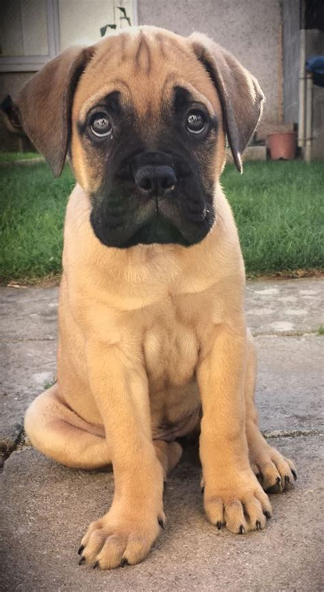 bull mastiff puppy beautiful bullmastiff puppy still wanted to get marks i was this to persuading