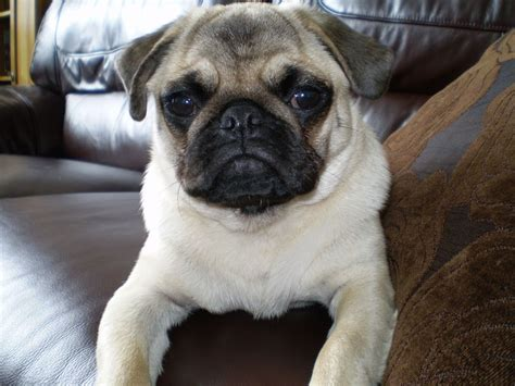 6 month pug 6 month pug on hold glasgow lanarkshire pets4homes