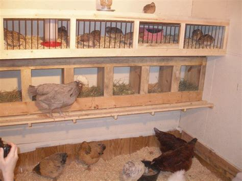 coturnix quail housing backyard chickens