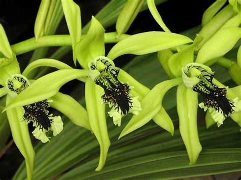 Anggrek Hijau rusmilawati anggrek hitam coelogyne pandurata asli