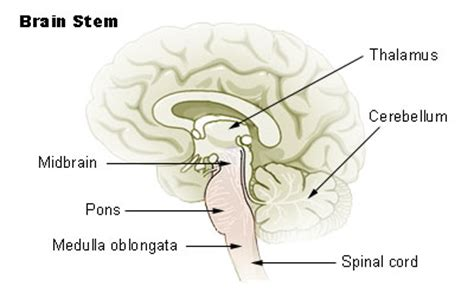 sections of the brain stem human physiology neurons the nervous system ii