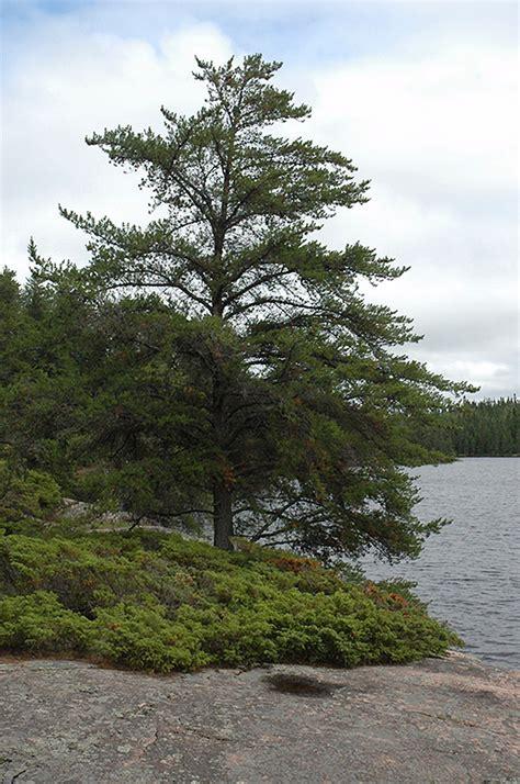 jack pine pinus banksiana  calgary alberta ab