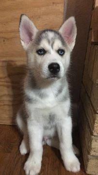 puppies for sale joplin mo les 25 meilleures id 233 es de la cat 233 gorie baby huskies for sale sur chiots