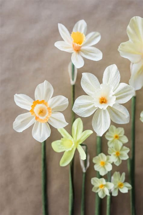 daffodil paper flower pattern diy paper daffodil tutorial by kate alarcon at design