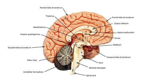 sagittal section of brain labeled brain human anatomy web site