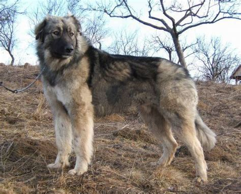 carpathian shepherd carpathian shepherd photos and wallpapers the beautiful carpathian shepherd