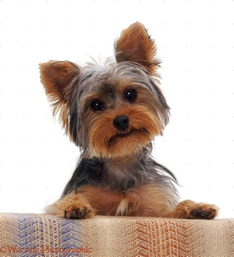 yorkie breeds top small breeds my home i dogs
