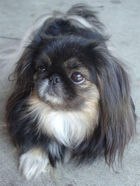 1000 ideas about pekingese puppies on