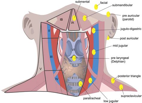 diagram of the neck diagram of neck and throat wresting