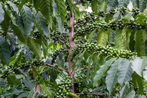 2014/15 Kona Coffee Crop Promises to be a Great Year for Kona Coffee   Greenwell Farms Coffee Blog