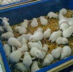 Alas Kandang Mencit budidaya mencit atau tikus putih s u c c e s s